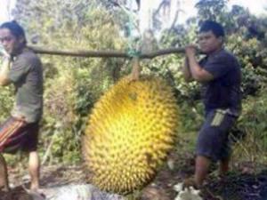 durianvanbo
